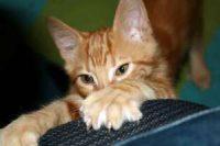 Togliere le unghie ai gatti, nel New Jersey verrà bandito